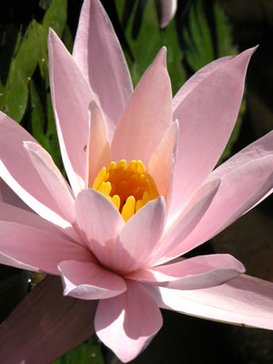 Lotus of compassion